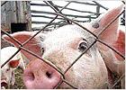 В Жирятинском районе будут ликвидированы все свиньи в мелких подсобных хозяйствах