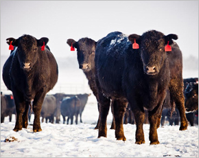 В 2014 году «Мираторг» поставит на фидлот в Брянской области 4,1 тыс. мясного скота