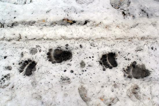 brn_bear_foots
