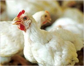 Брянские птицеводы поспособствовали росту производства мяса птицы в России
