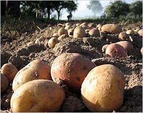 Урожай-2017: картофель убран на трети площадей с урожайностью выше прошлогодней