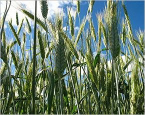 «Мираторг» заготовит свыше 18 тыс. тонн тритикале для брянских ферм абердин-ангусов