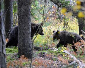 Тверской медвежонок не прижился в «Брянском лесу»