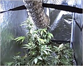 В Брянске наркополицейские «накрыли» две квартирные «плантации» «травы»