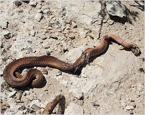 Новозыбков нынешним летом атаковали змеи (ВИДЕО)