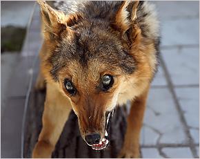 В 2016 году брянские домашние животные подхватывали бешенство чаще диких
