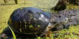 «Брянский лес» приютил ещё одну редкую болотную черепаху (ФОТО)