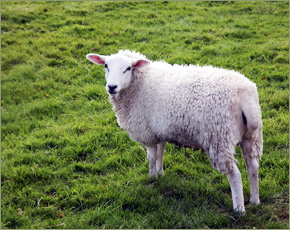 В Мглинском районе зарегистрирован случай бешенства овцы — МЧС
