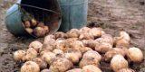В регионе подсчитывают урожай картофеля в частных подворьях, чтобы сошлась статистика