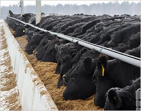 «Брянская мясная компания» за год построила в Смоленской области четыре новых фермы