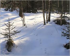 «Брянский лес» провёл перепись: в нём живут три рыси, 13 волков и больше 500 белок