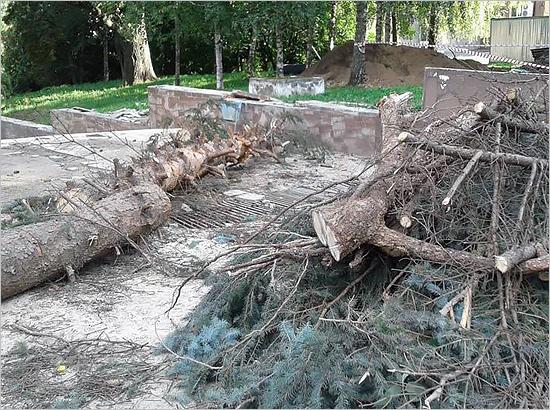 Городские власти распилили голубую ель на бульваре Гагарина на 500 тысяч рублей