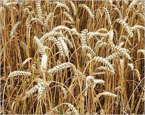 Урожай-2017: стародубская нива даёт от 72 до 88 центнеров с гектара