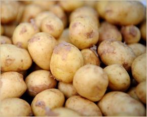 Погарский район поставил первую товарную партию картофеля сезона-2017
