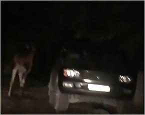 Очередной лось забежал в Брянск и пытался скрыться в гаражах