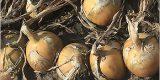 В Брянской области возрождено производство лука в коммерческих масштабах