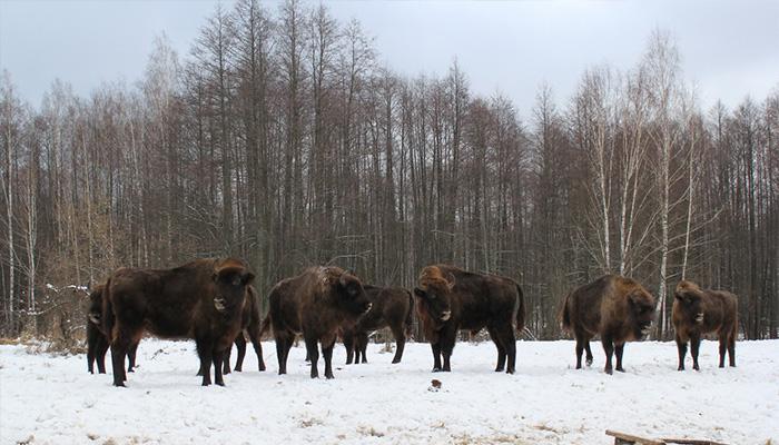 Заповедник «Брянский лес» принял 11 зубров-новоселов изПодмосковья