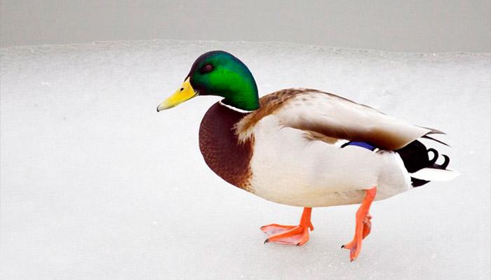 Пермяков снова приглашают провести зимний учет водоплавающих птиц