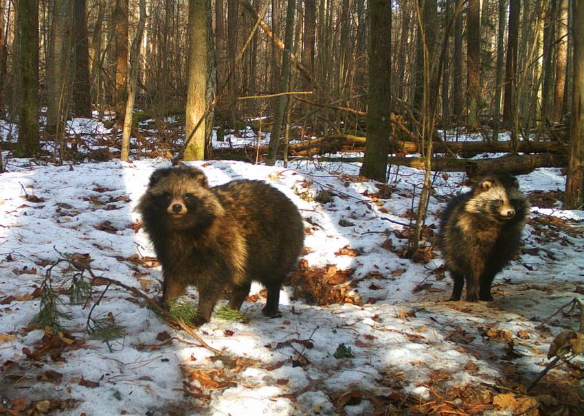 В заповеднике «Брянский лес» обитают более 400 косуль