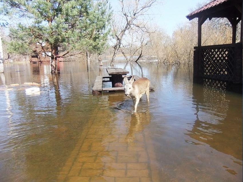 """Работники заповедника """"Брянский лес"""" спасают животных от наводнения"""