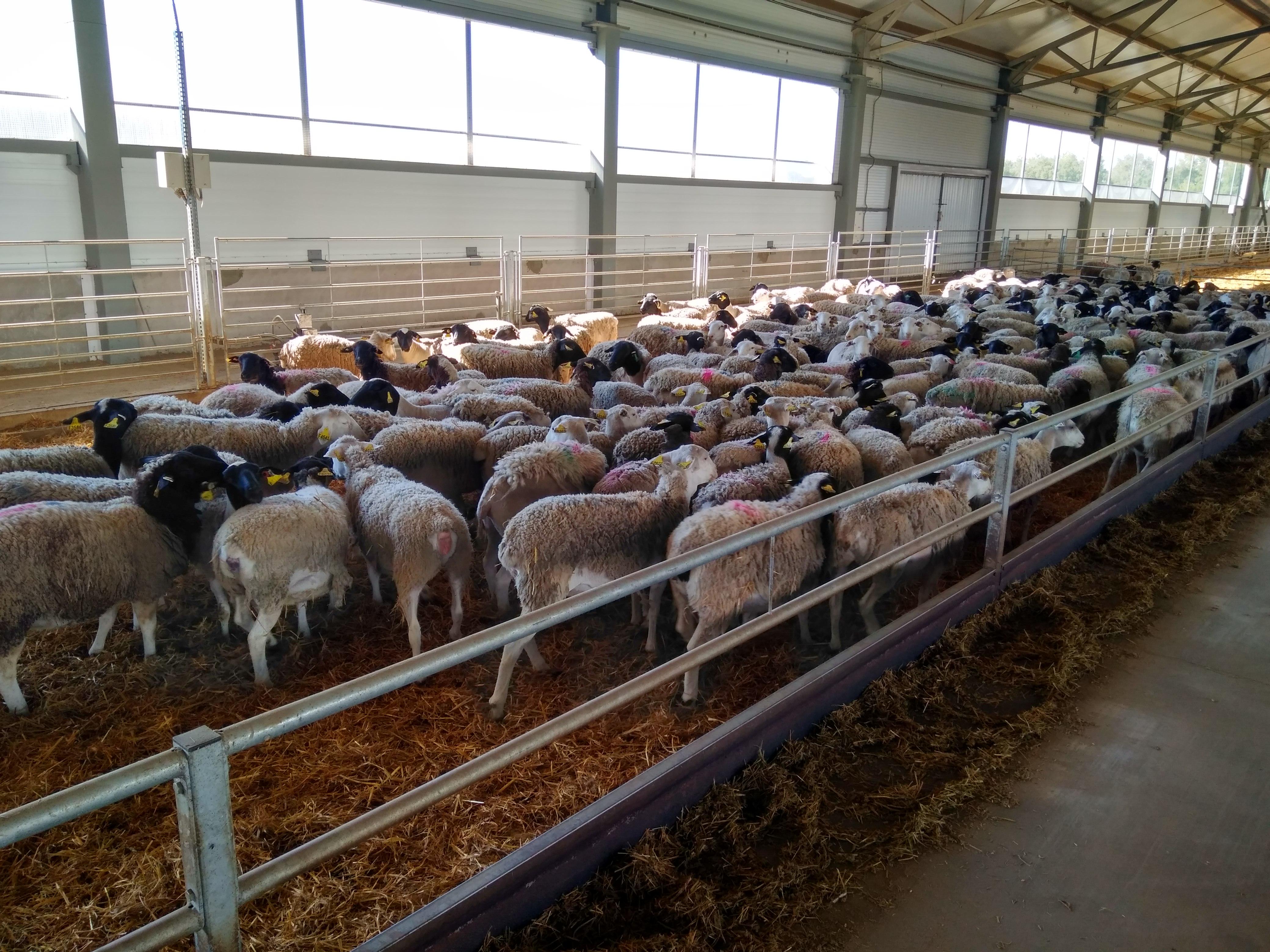 Курские овечки будут ездить в Брянскую область: «Мираторг» запустил в Курской области первую овцеводческую ферму