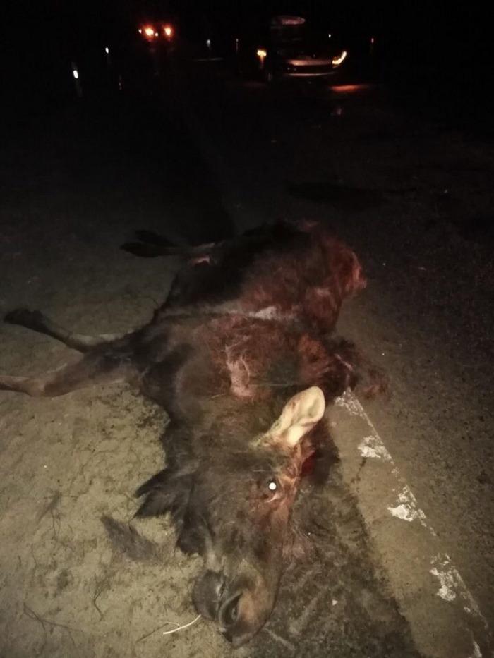 В ДТП на дороге Климово-Чуровичи погиб лось