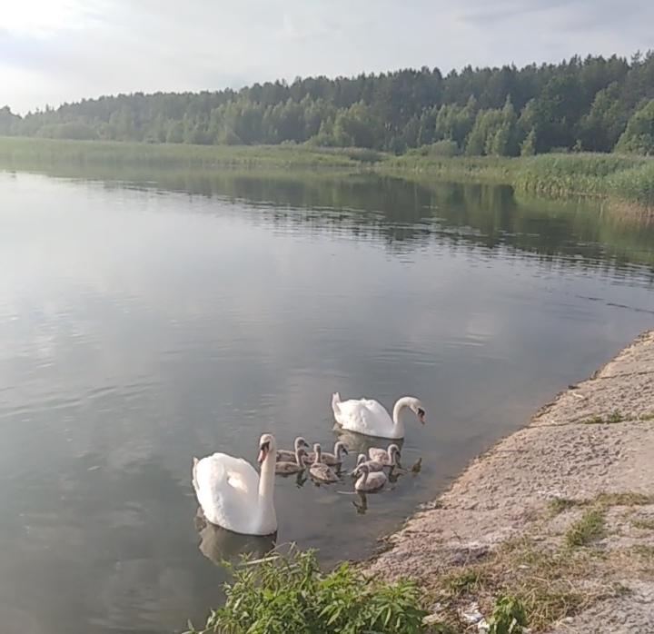 В дятьковской Дружбе местные жители спасли раненого лебедя