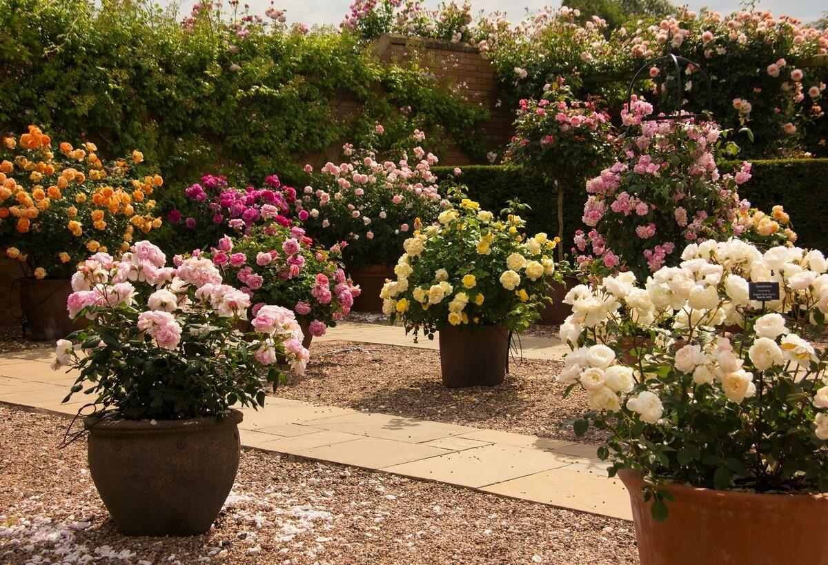 Как эффектно разместить кустовые розы в дизайне сада