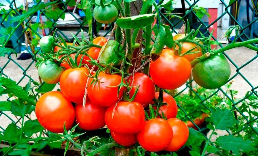 5 раннеспелых сортов томатов для открытого грунта